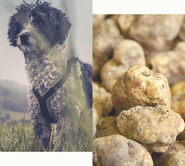 Truffle hunting in Tavarnelle val di Pesa